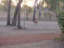 Dingo at Edward River Campground